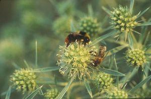 Blüte Feldmannstreu