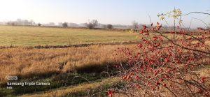 Feld mit Hagebuttenbusch